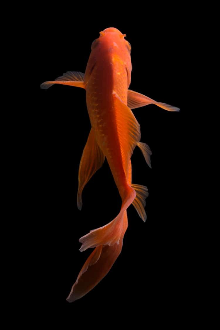 Photo d'un poisson papillon Koi