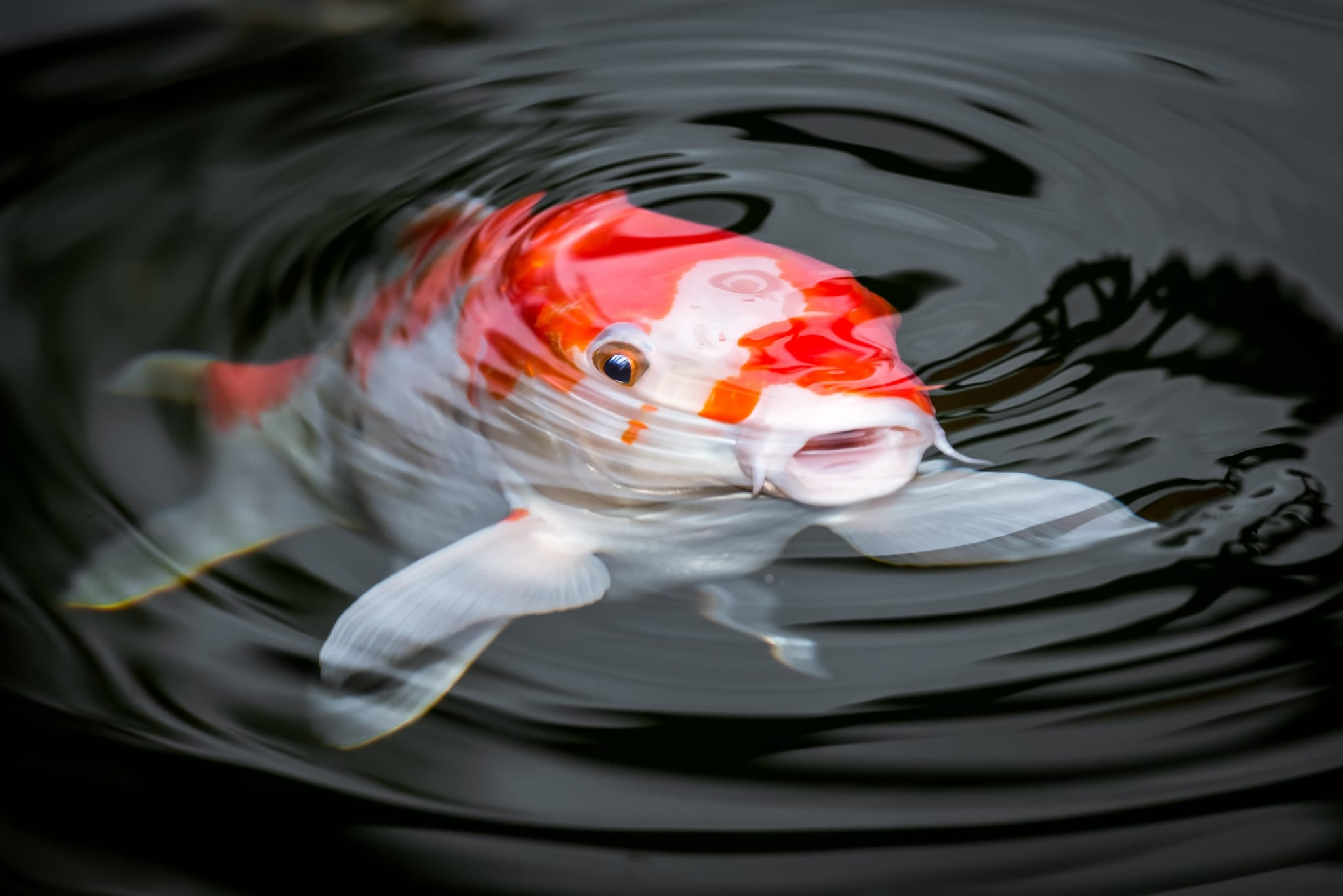 Photo d'un poisson Koi